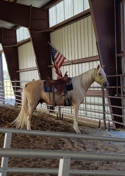 Liver Chestnut Halflinger/Quarter Horse cross gelding